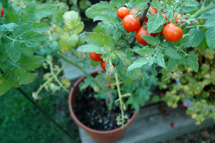 A single tomato plant can produce 200 tomatoes in a season
