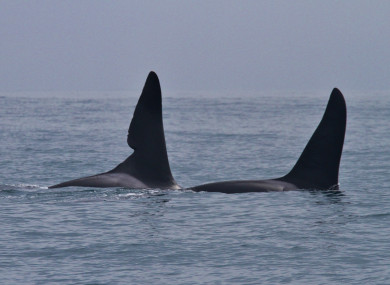 The two killer whales spotted off Dingle Bay