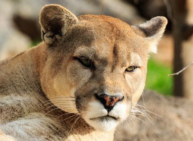 The cougar was later tracked down and killed by authorities.