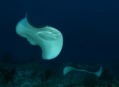 Commonly found in tropical waters, stingrays rarely attack humans but their barbs are toxic. (File photo)