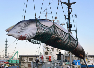In this September 2017 photo, a minke whale is unloaded at a port after a whaling for scientific purposes in Kushiro, in the northernmost main island of Hokkaido.