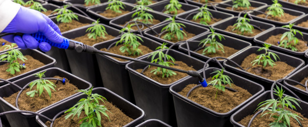 The Department of Health said it may change its policy towards licencing farmers to grow cannabis.