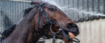 Tiger Roll getting washed after morning work.