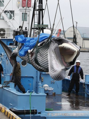 A whale is unloaded at a port in Kushiro, in the northernmost main island of Hokkaido, today.