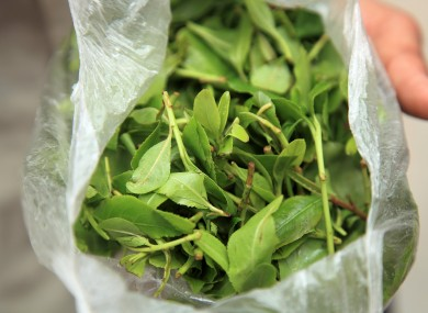 File image: The drug khat, which is mostly used in east African and middle eastern countries, comes in leaf form, is chewed and gives users a similar effect as amphetamines