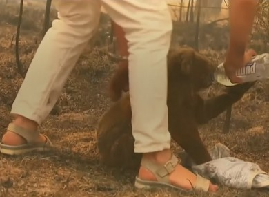 Lewis the koala being saved from the bushfire last week