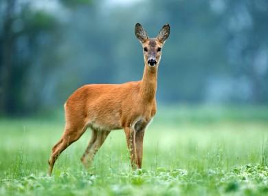 File photo of a deer.