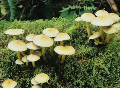 File photo of wild mushrooms in a US forest.