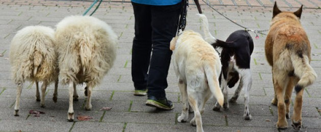 A man walks with two sheep and three dogs in Saxony.