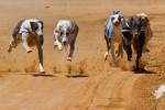 File photo of greyhounds racing.