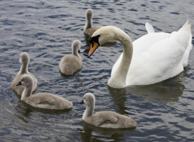 Five cygnets with their mother in Naas, Co Kildare.