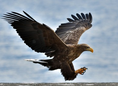 A white-tailed eagle glides over the surface of the sea