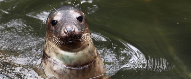 A six-month-old grey seal named 'Wax Myrtle' who was rescued in Cork with an entanglement wound around his neck swims in a recovery pool at Seal Rescue Ireland in Courtown, Co. Wexford