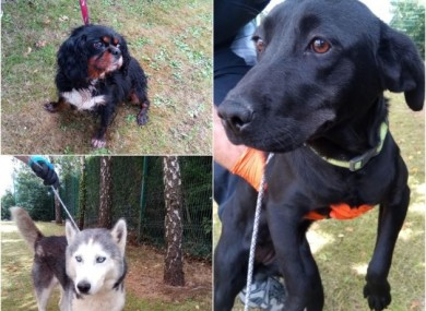 Some of the dogs recovered in Limerick earlier this week.