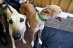 Greyhounds at the Greyhound Adoption Program (GAP) Cafe, Melbourne, Wednesday, March 14, 2018.