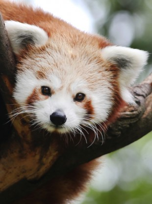 A Red Panda at Dublin Zoo, the cutest animal at the zoo.
