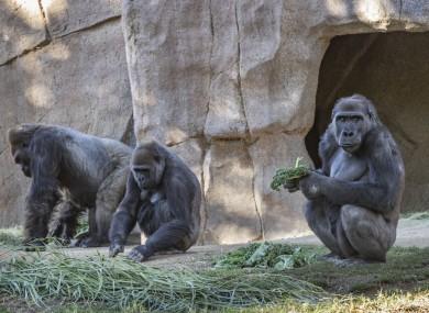 Members of the gorilla troop at the San Diego Zoo Safari Park