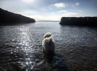Torres, a 12 year old Bichon Frise, takes his first dip of the year on a sunny spring morning in Howth.