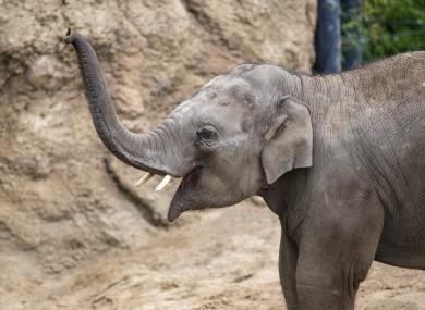 An elephant at Dublin Zoo