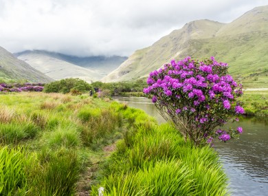 File photo of rhododendron in Connemara.