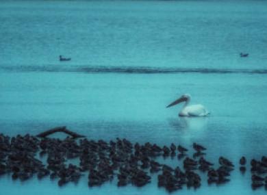 The pelican in Dublin last week.